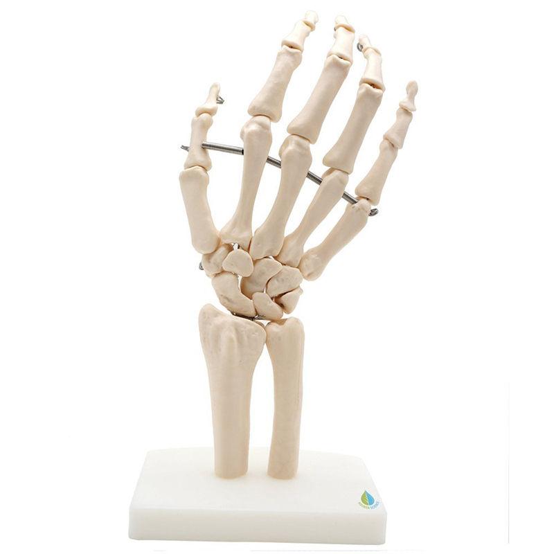 6D50 Human Hand Joint Anatomical Skeleton Model Medical Science ...